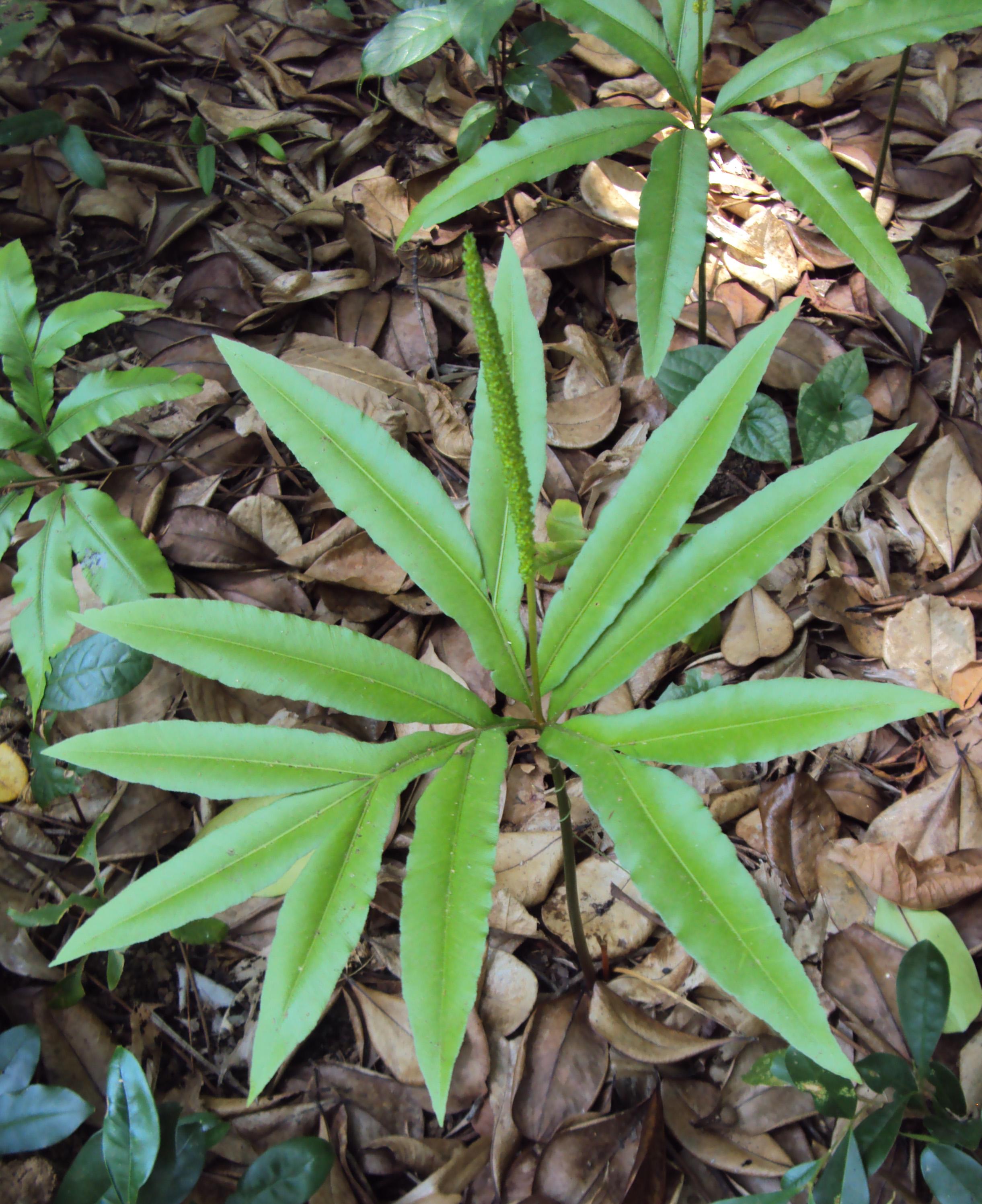 helminthostachys mexicana