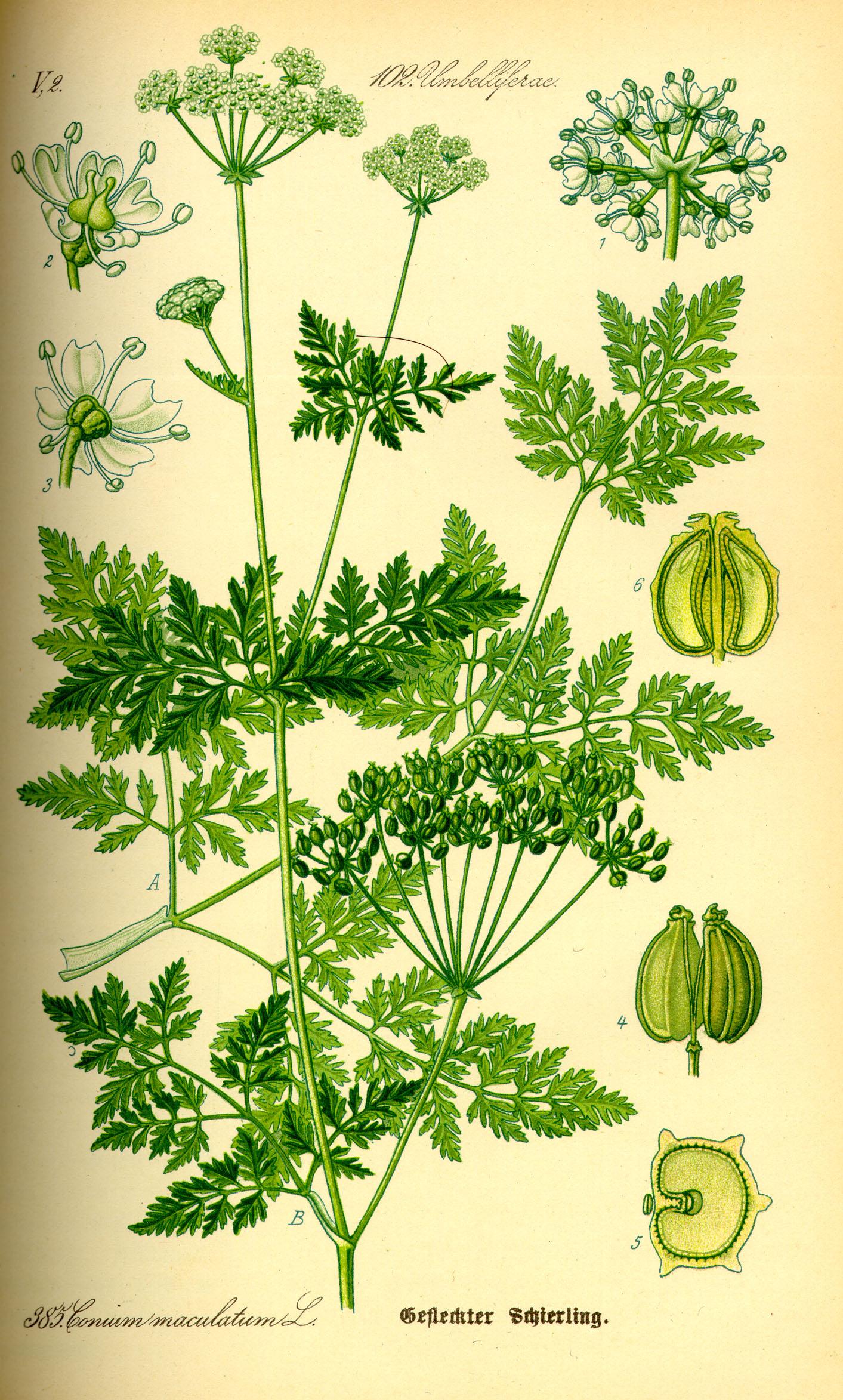 Depiction of Conium maculatum