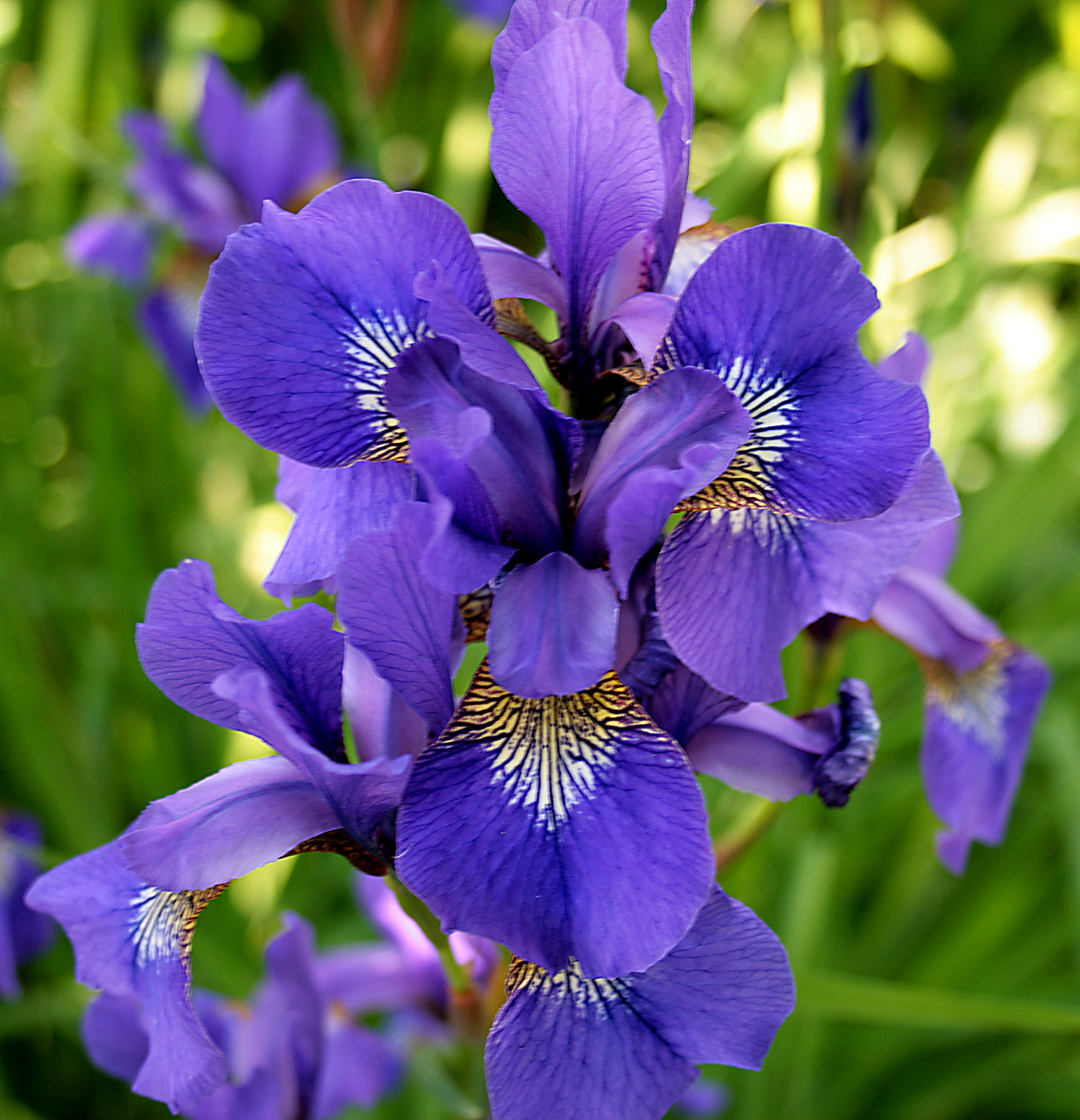 file iris plant jpg wikimedia commons