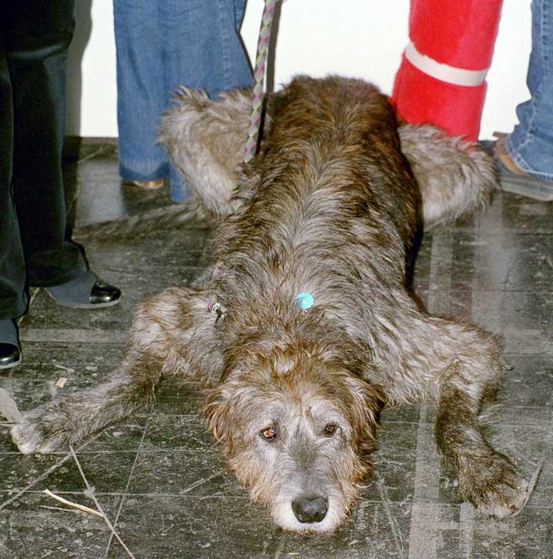 File:Irish-Wolfhound2.jpg - Wikimedia Commons