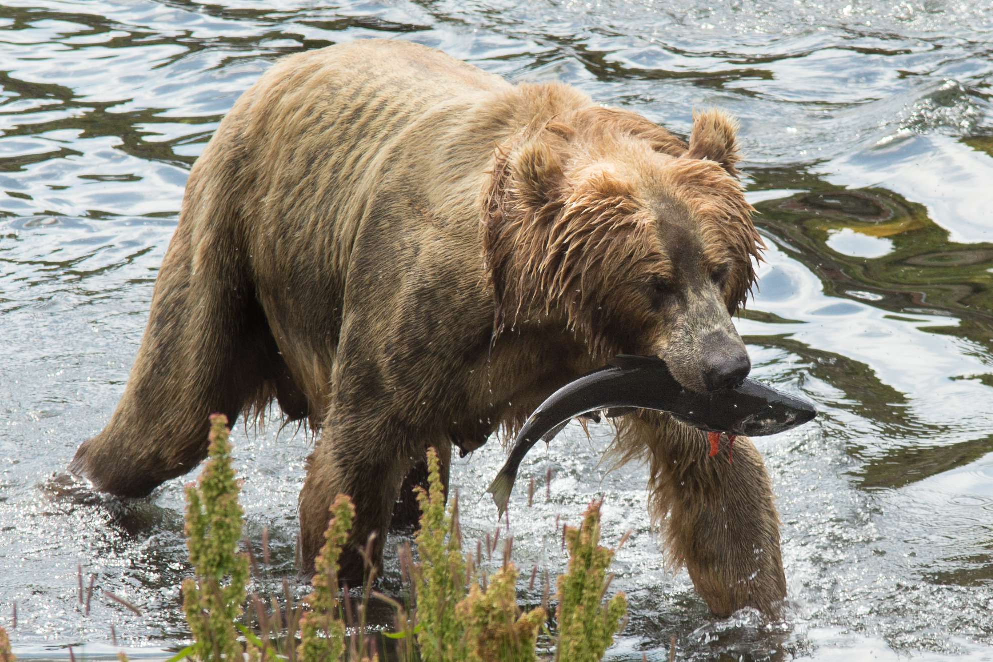 file kodiak brown bear fws 18387 jpg wikimedia commons