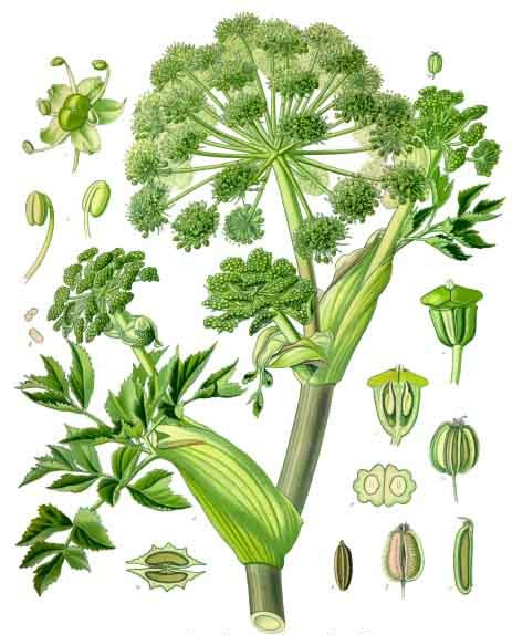 「ANGELICA ARCHANGELICA L.」の画像検索結果