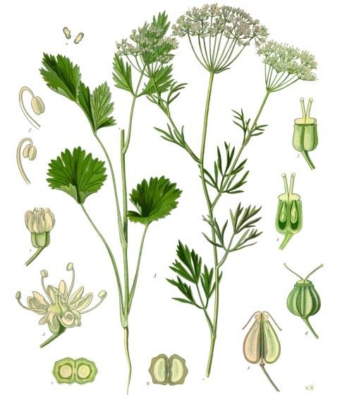 Ficheiro:Koehler1887-PimpinellaAnisum.jpg