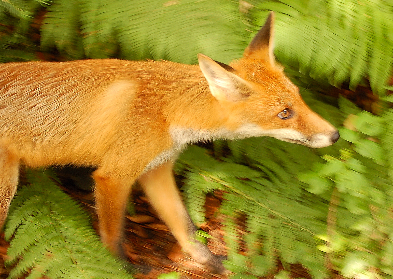 Vulpes Red Fox