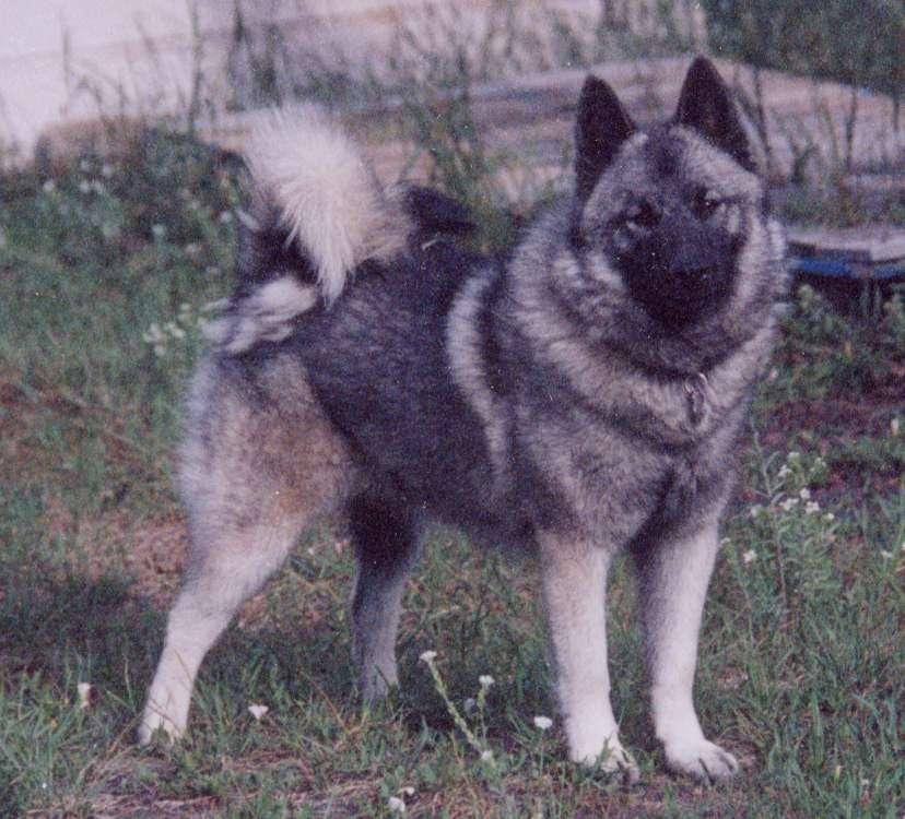 Norwegian Elkhound Size File:norwegian elkhound