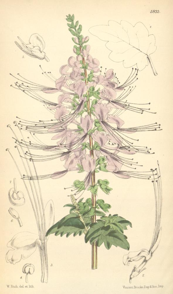 Orthosiphon Wikipedia