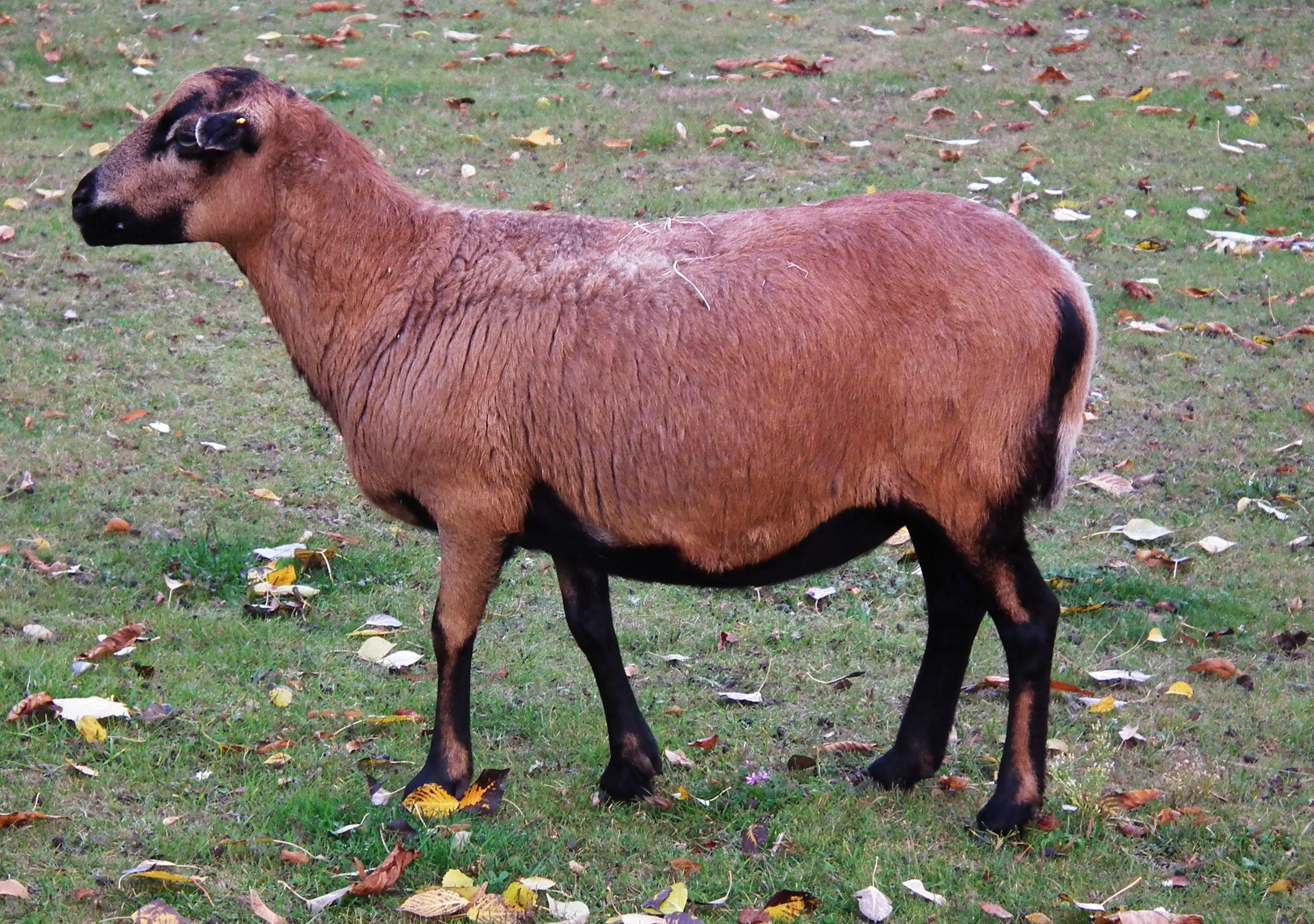 File Ovis Aries Aries Owca Kamerunska Stare Zoo Poznan