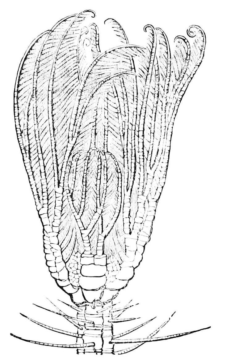 Cenocrinus - Wikipedia