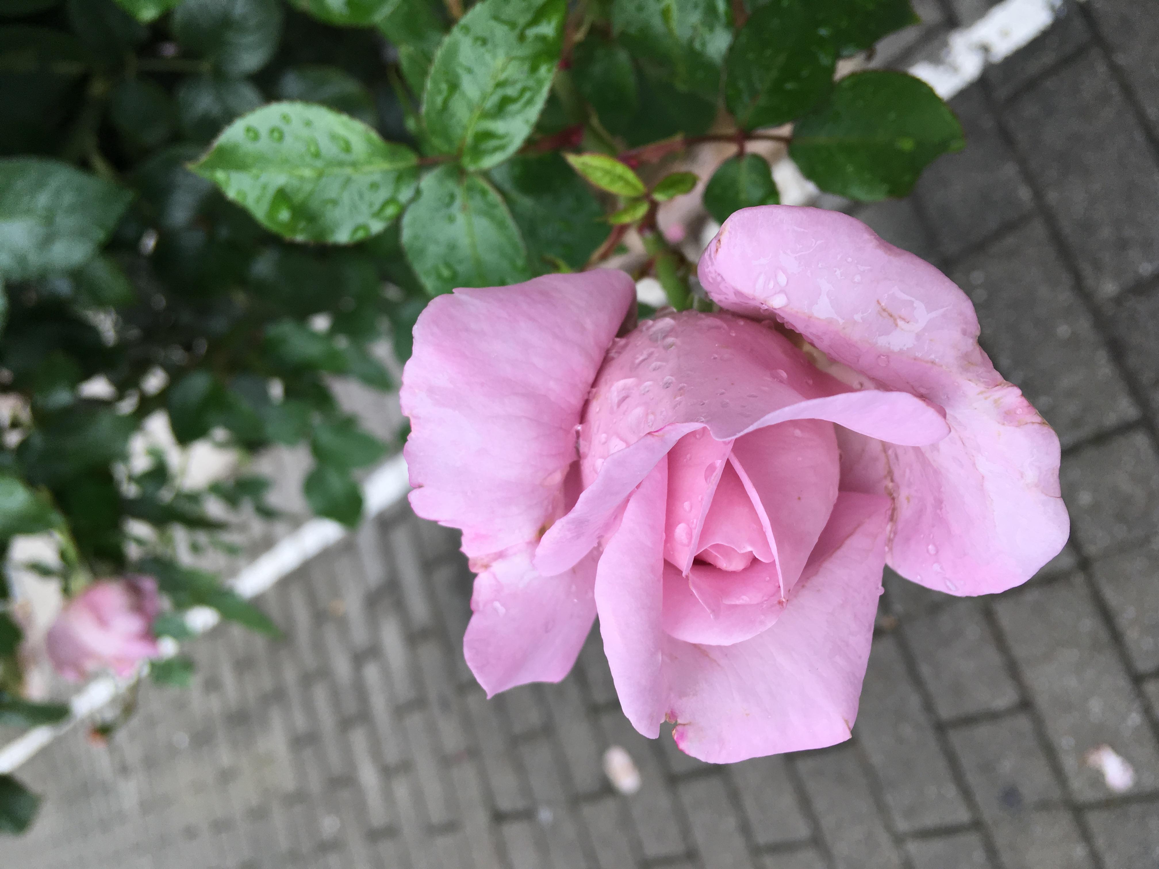 Filepale Pink Roseg Wikimedia Commons