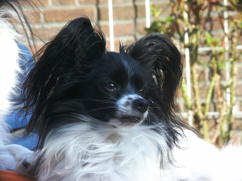 File:Papillon-dog-black.jpg - Wikimedia Commons