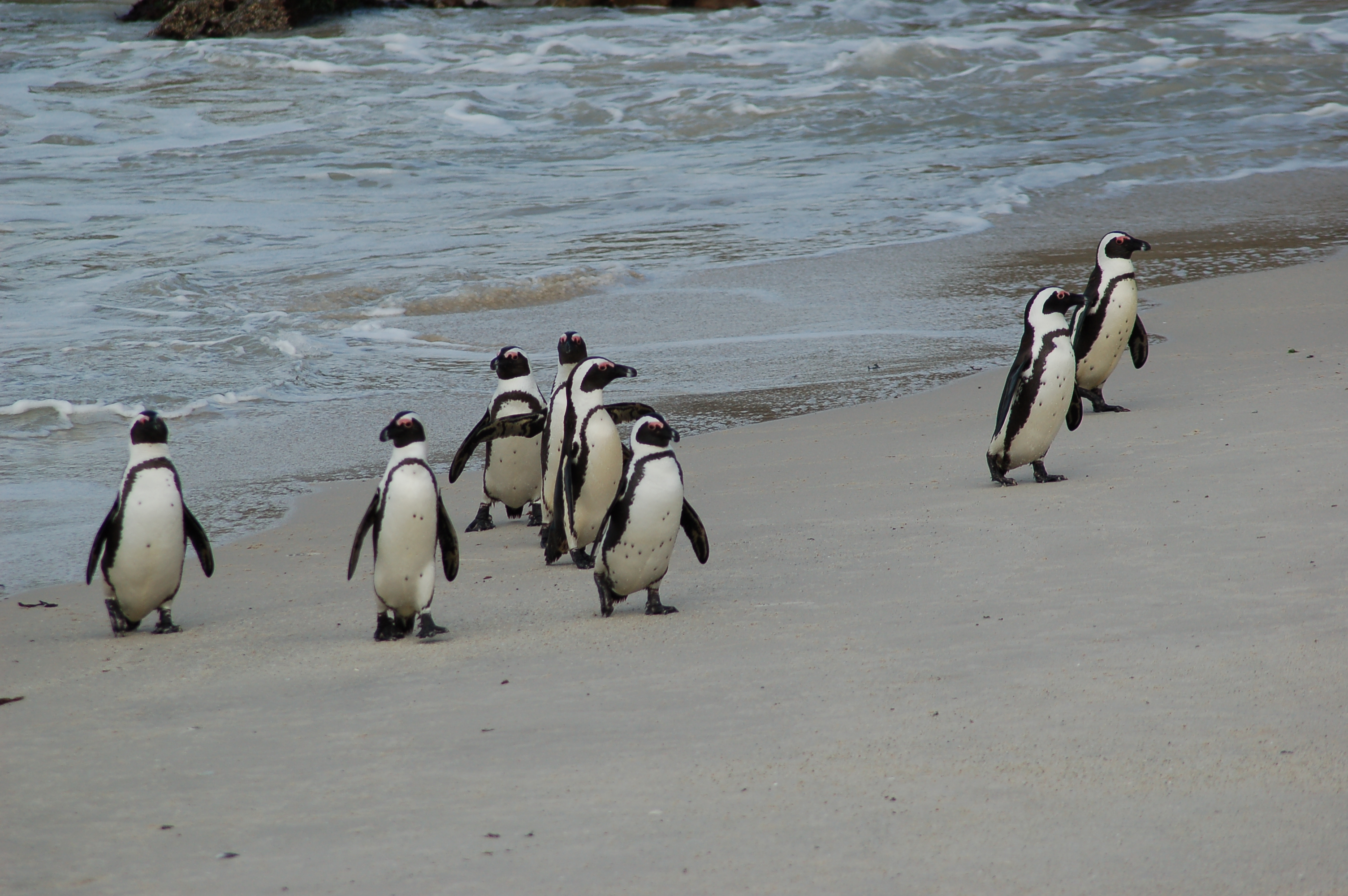 File Penguins At Boulders Beach South Africa 3251456334 Jpg