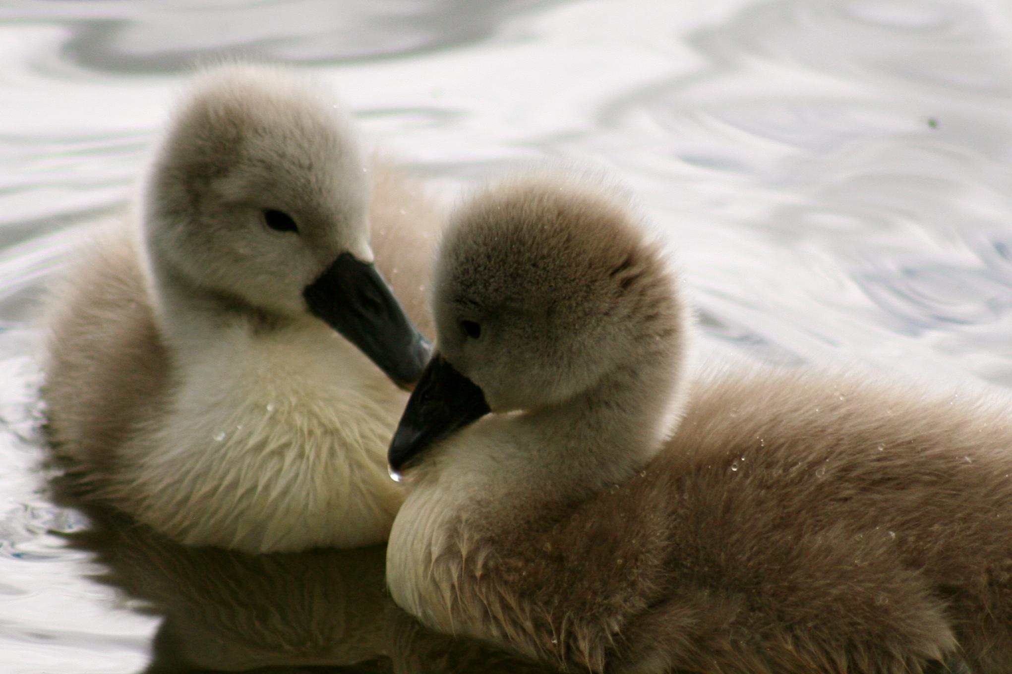 File:Photojenni - baby swan (by).jpg - Wikimedia Commons
