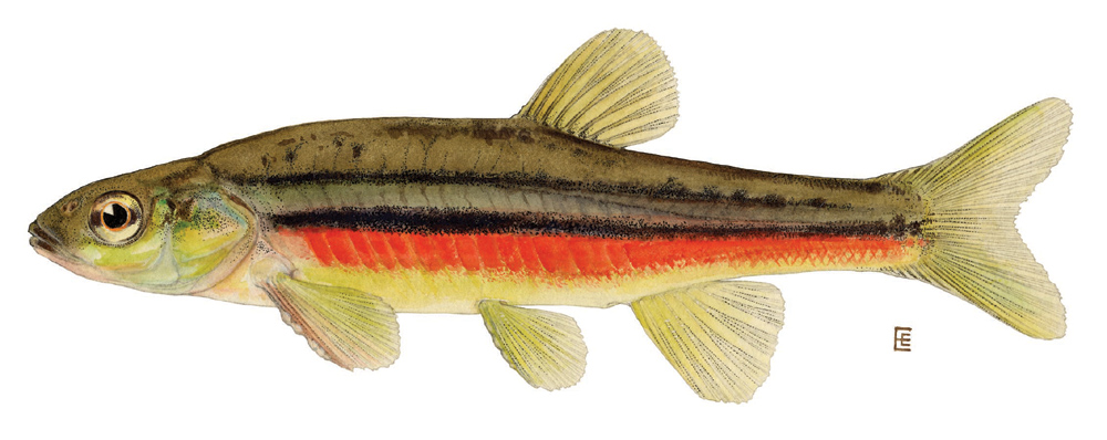 northern redbelly dace wikipedia