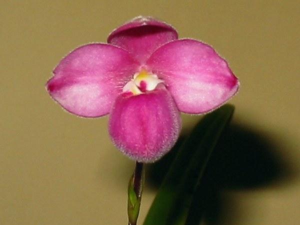 Phragmipedium fischeri image
