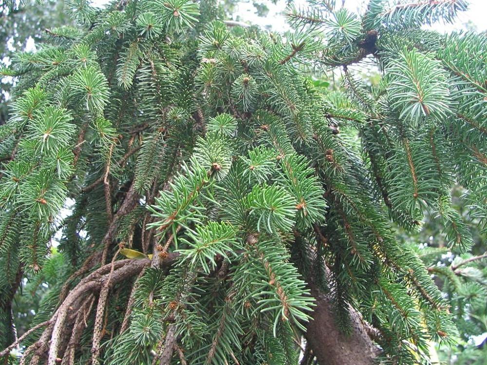 File:Picea abies cultivar, Merrifield Garden Center 1zz.jpg ...