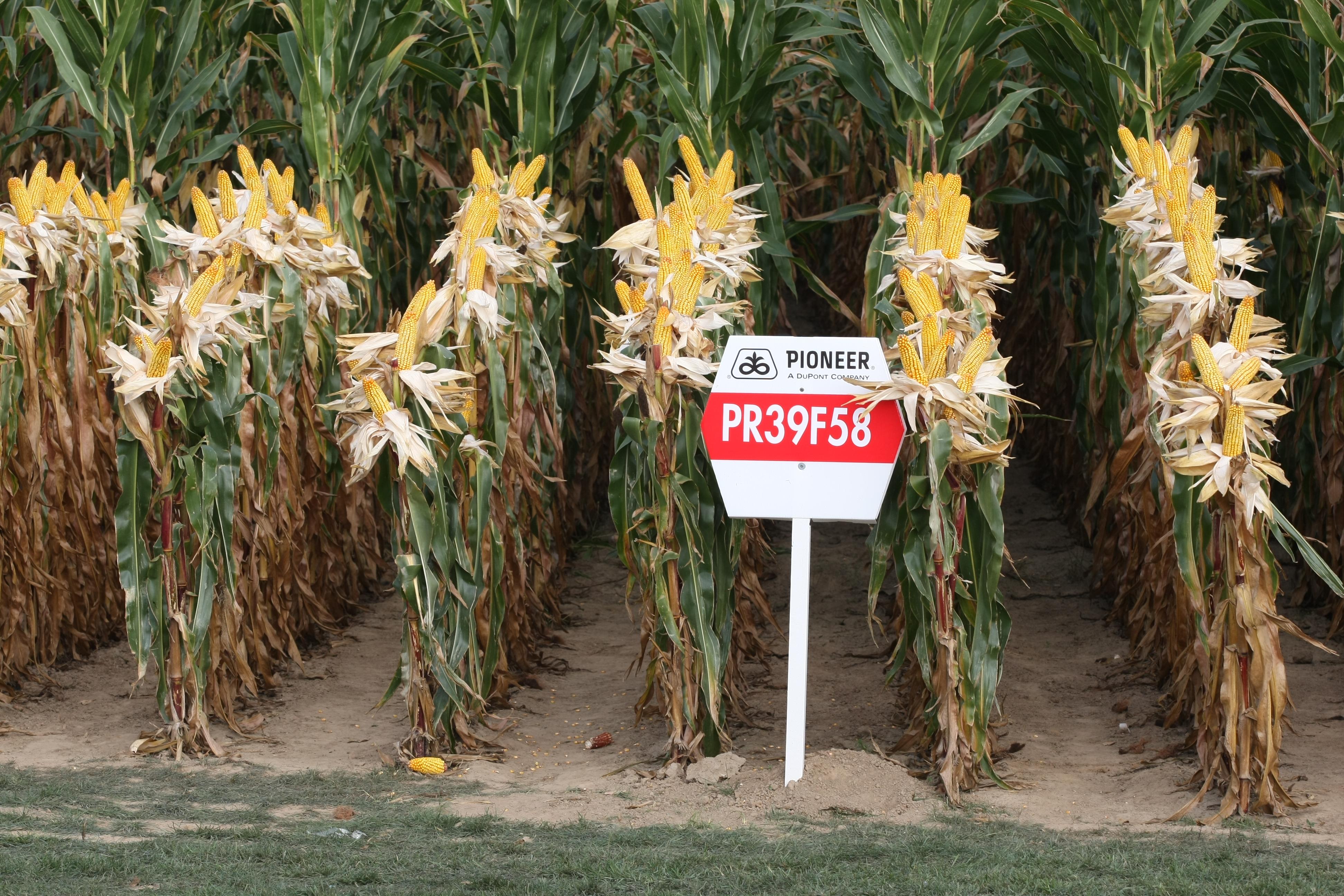 Pioneer maize PR39F58.jpg