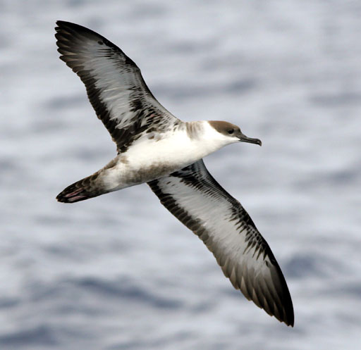 Image result for shearwaters
