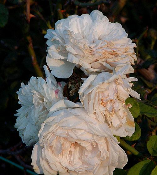 LA ROSE, toute une histoire dans ARTISANAT FRANCAIS Rosa_Sombreuil
