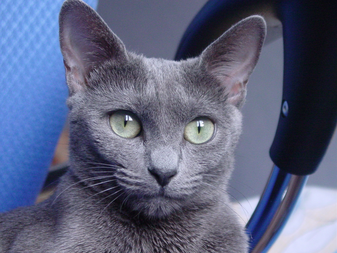 Kot rosyjski niebieski - Cat Scanner