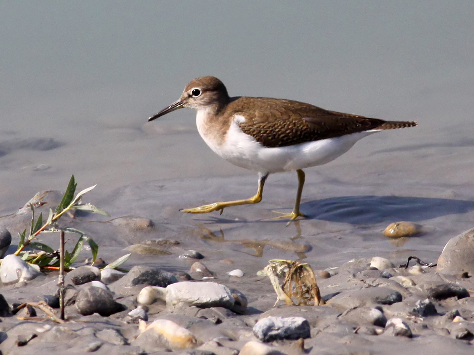 File:Sandpiper (Actitis hypoleucos) (23).jpg - Wikimedia Commons: https://commons.wikimedia.org/wiki/File:Sandpiper_(Actitis...