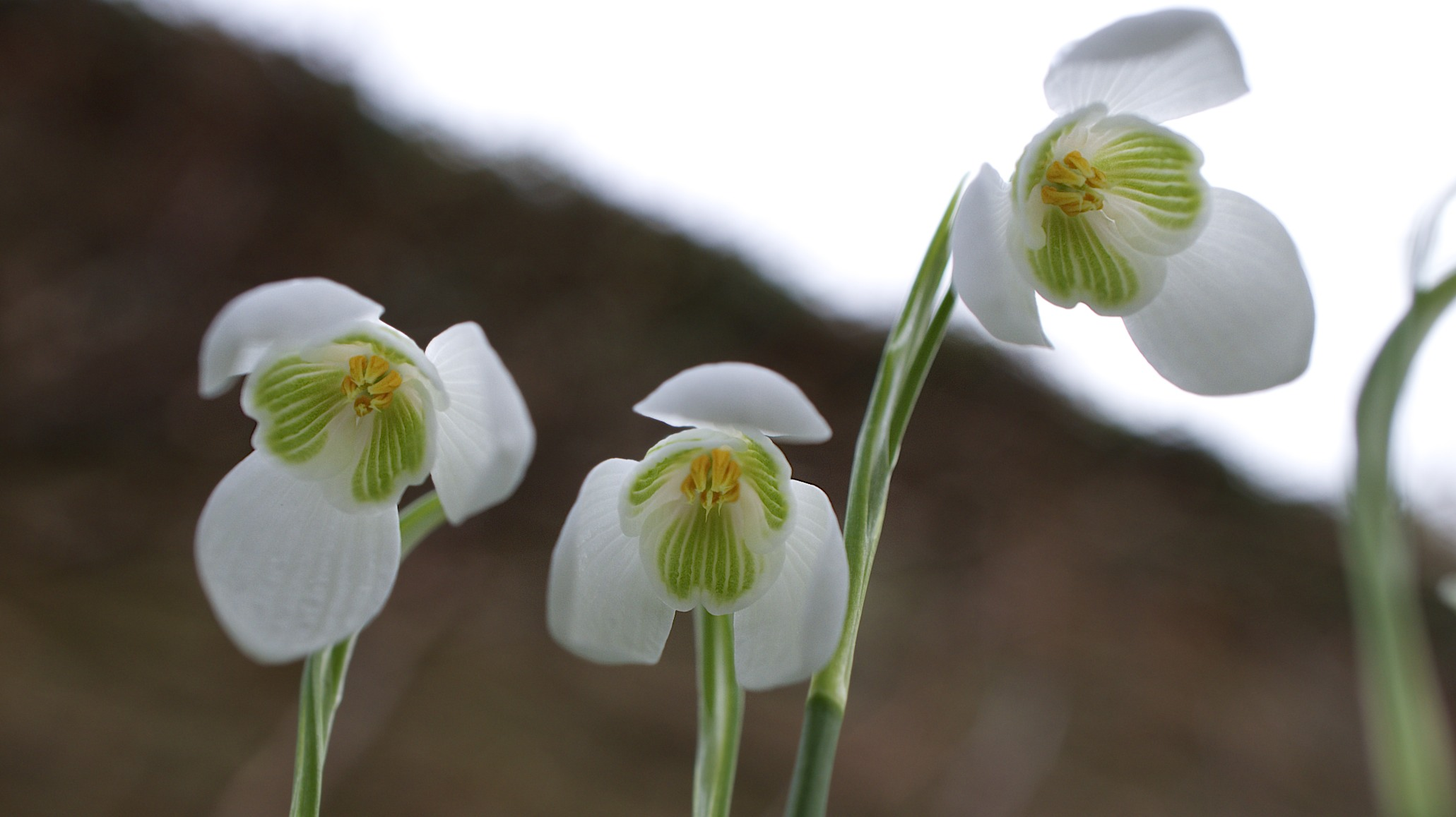 February Favourites Do Snowdrops Appear In Folklore