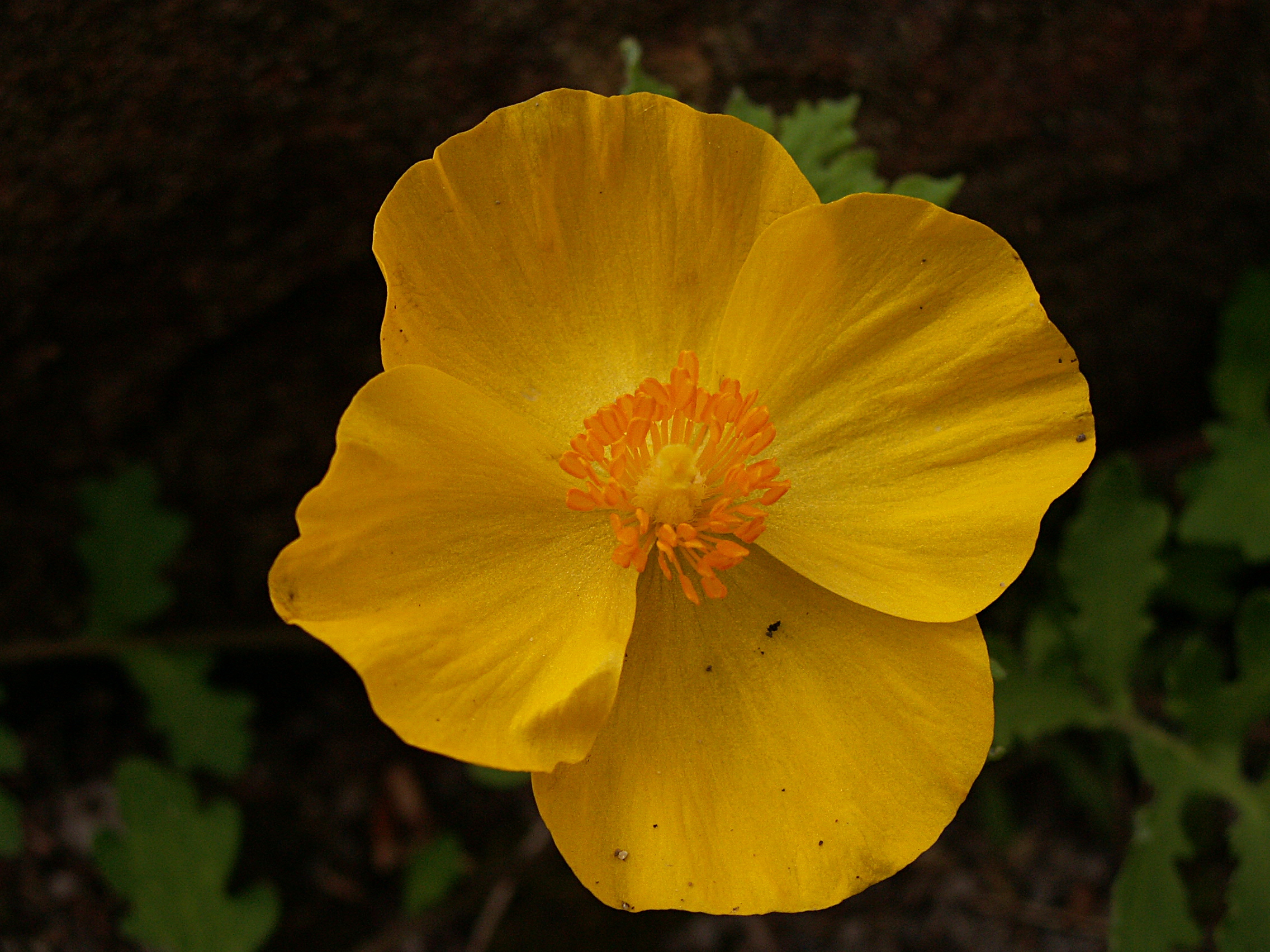 Papaveraceae flora pittsburghensis like a larger version of the celandine this bright yellow poppy blooms at the same time but is easily distinguished by its larger flowers with overlapping mightylinksfo
