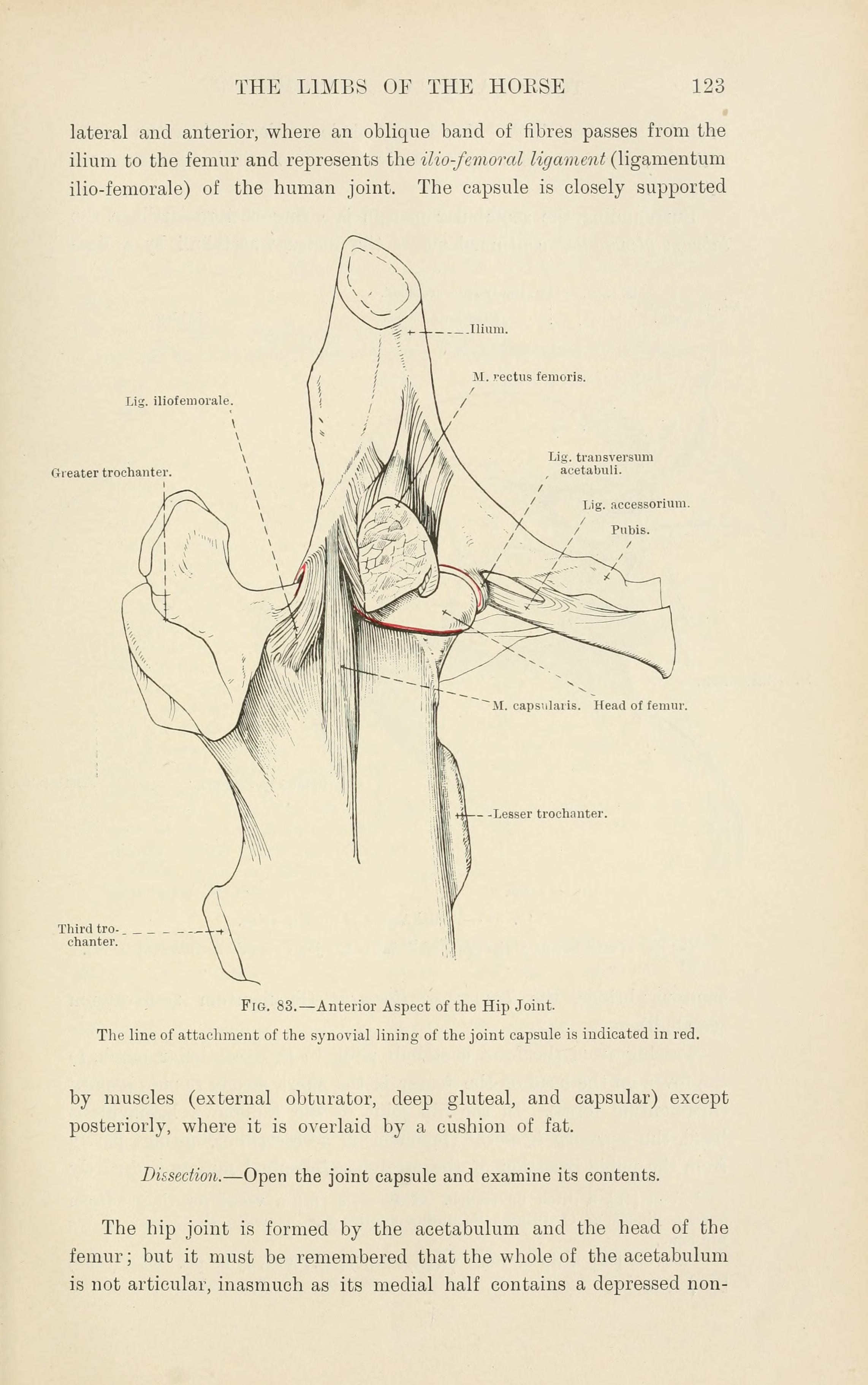 File:The topographical anatomy of the limbs of the horse (Page 123 ...