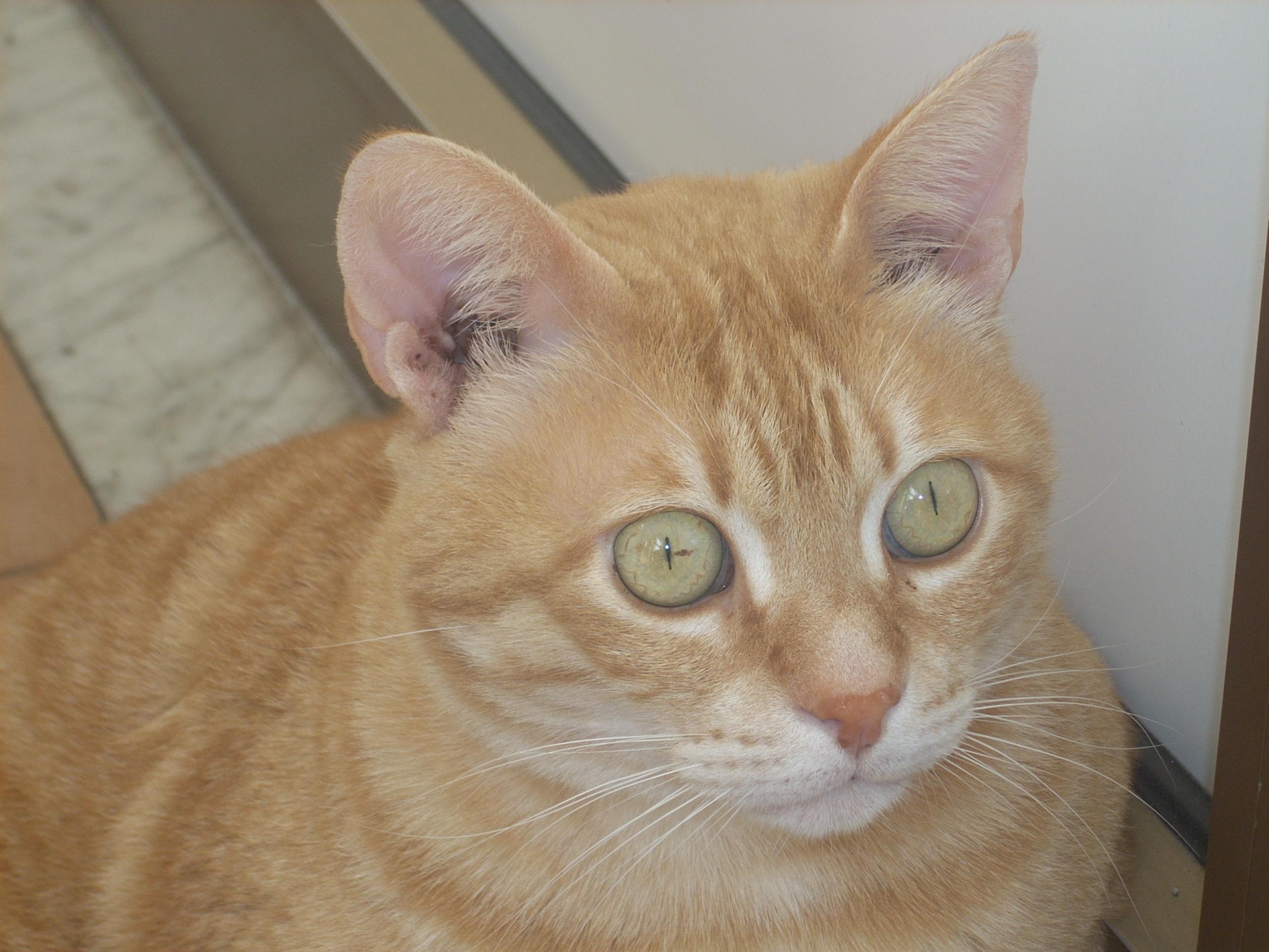 Ginger Tom Cat Food