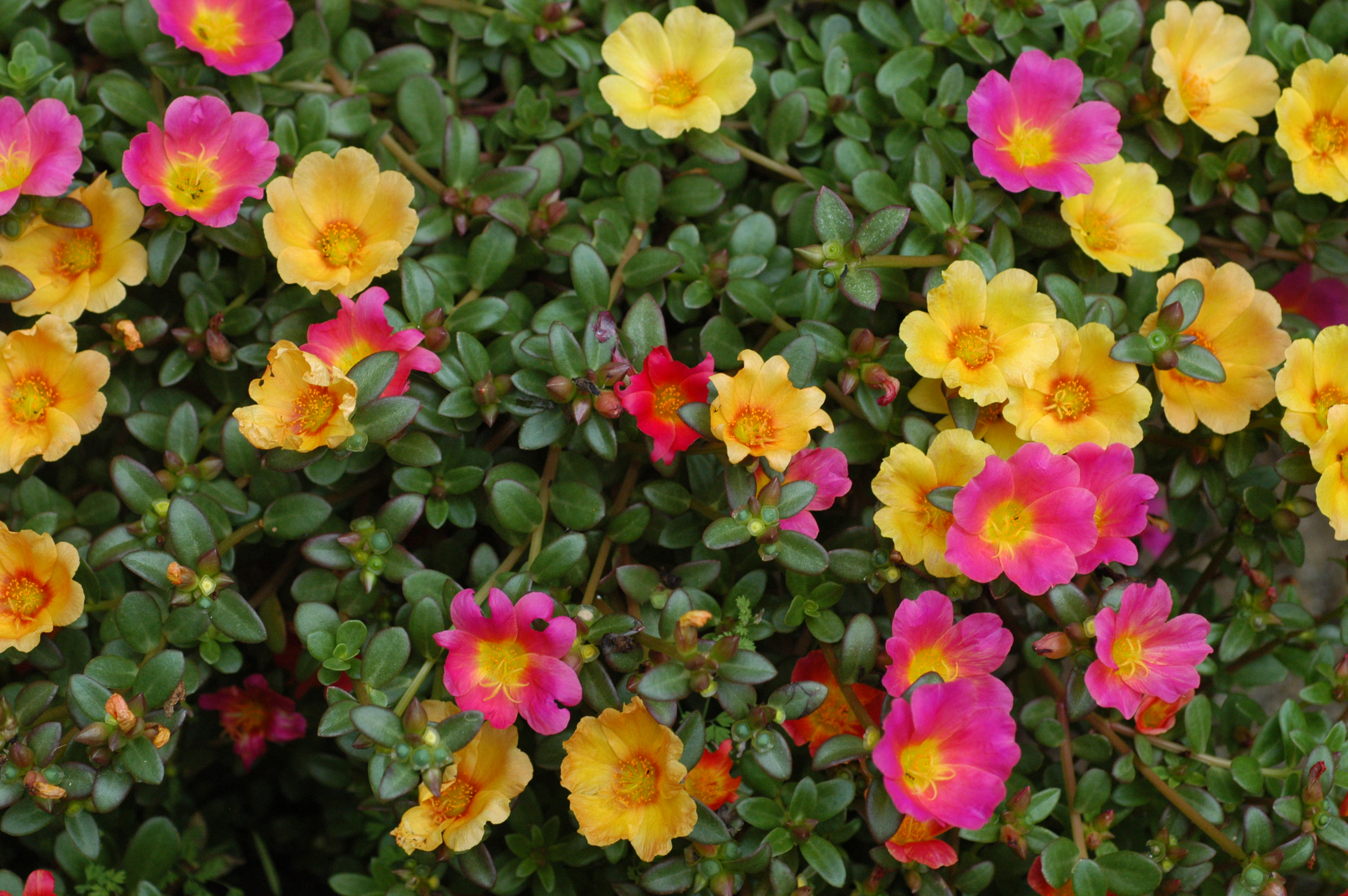Portulaca purslane for What are the best flowers