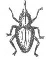 Weevil-Poultryhub.JPG