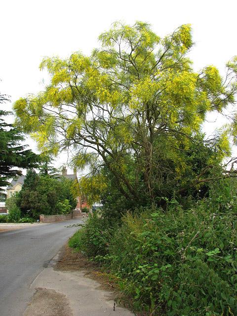 Fileyellow flowering tree geograph 868495g fileyellow flowering tree geograph 868495g mightylinksfo