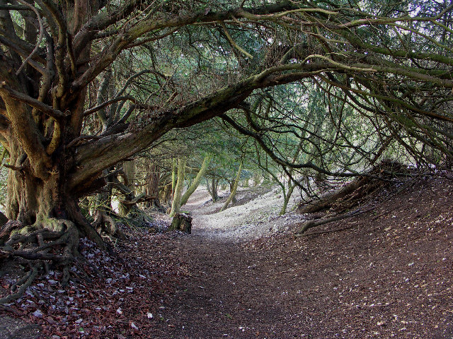 File:Yew Tunnel, Watlington Hill - geograph.org.uk - 123129.jpg