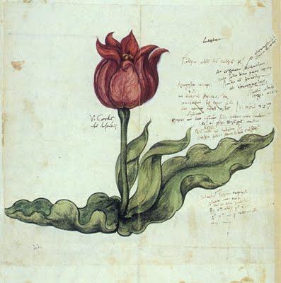 1561 Gesner Tulip