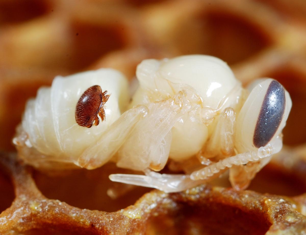 Varroa destructor naciele pszczoły, źródło: https://commons.wikimedia.org/