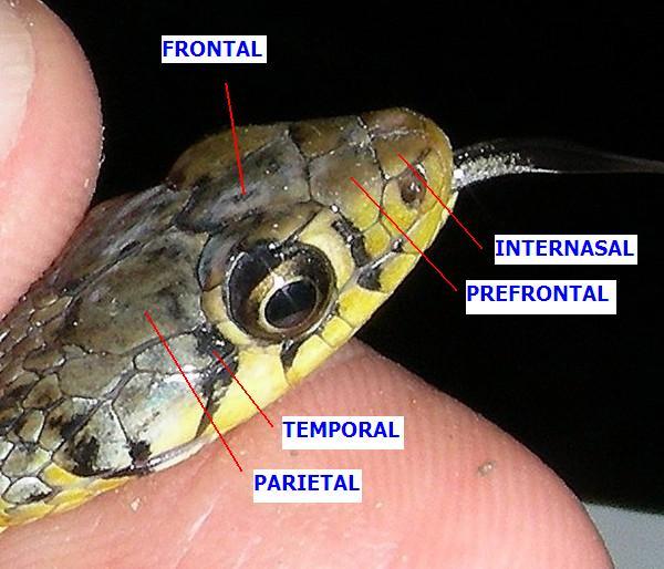 Parietal Scales Wikipedia