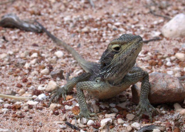 Dwarf Bearded Dragon (Pogona minor) · iNaturalist org