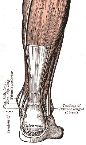 A view of the Achilles Tendon, courtesy of wikipedia.org