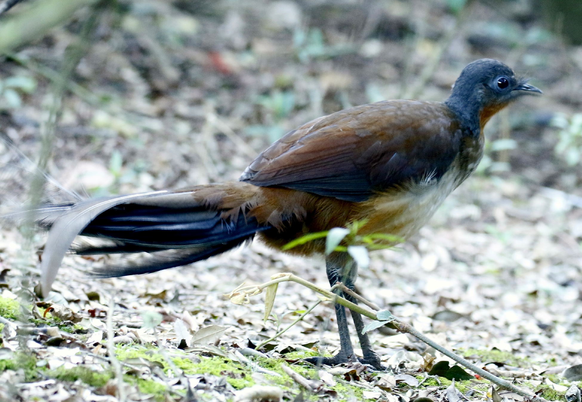 albert s lyrebird wikipedia