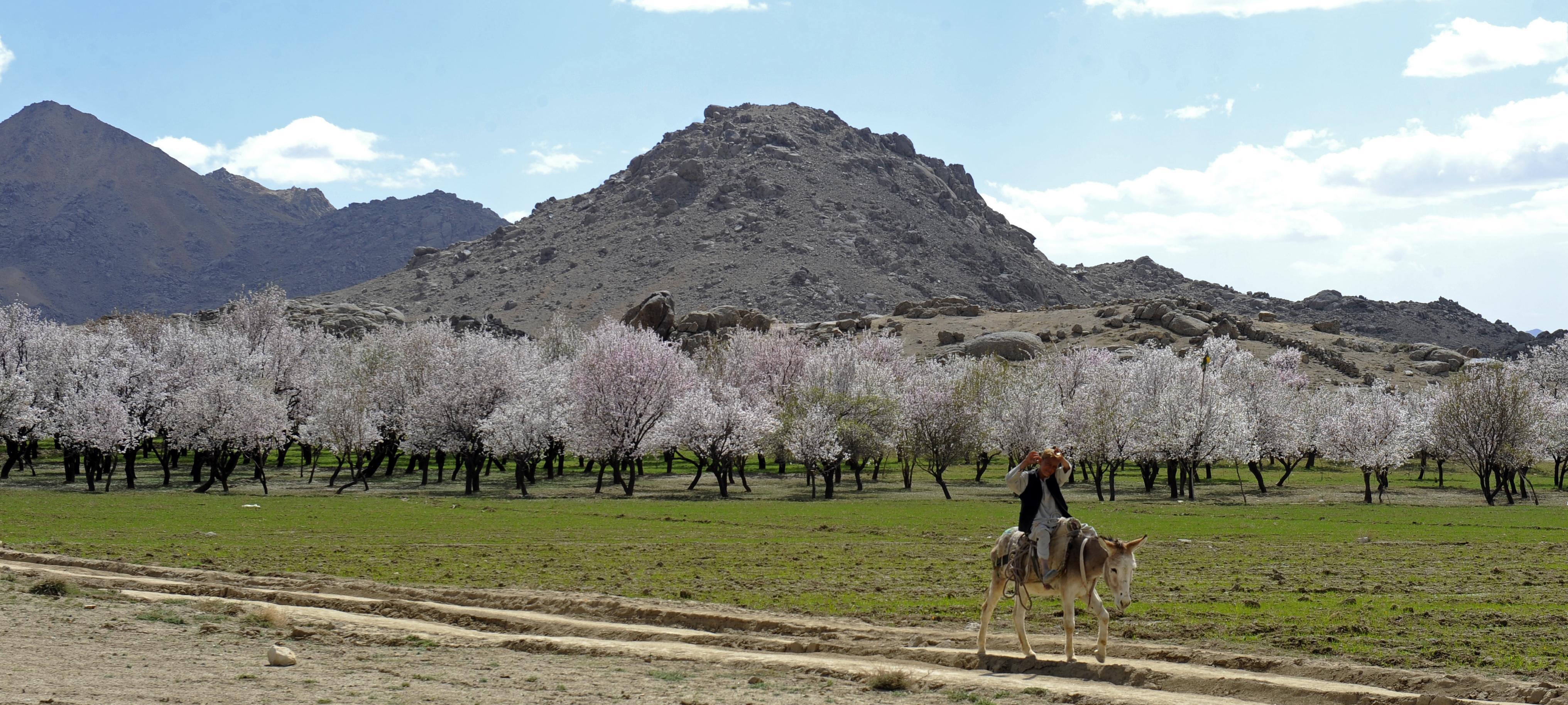 [Image: Almond_trees_in_Zabul_Province_of_Afghanistan.jpg]