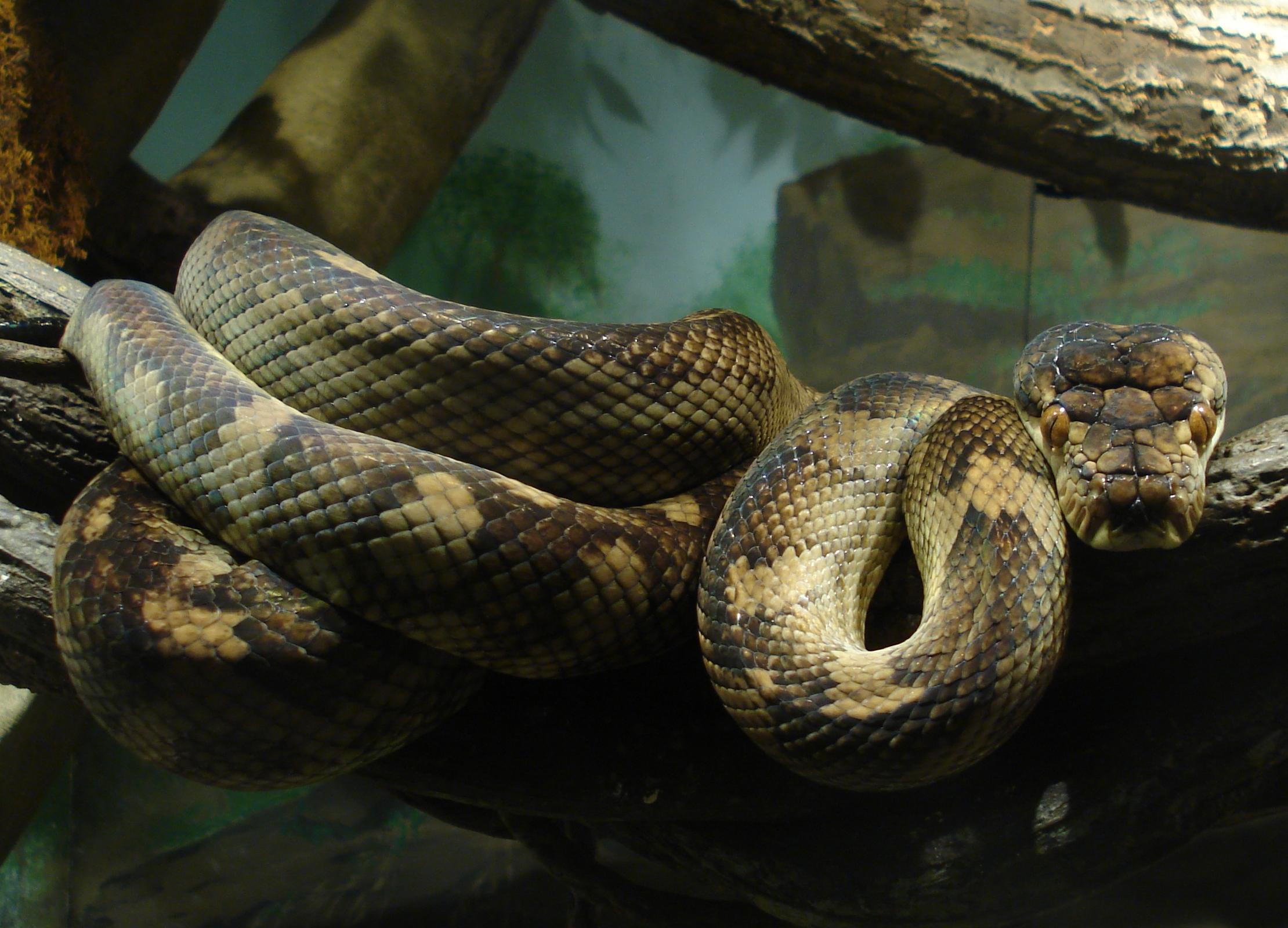 Amethystine Python Snake