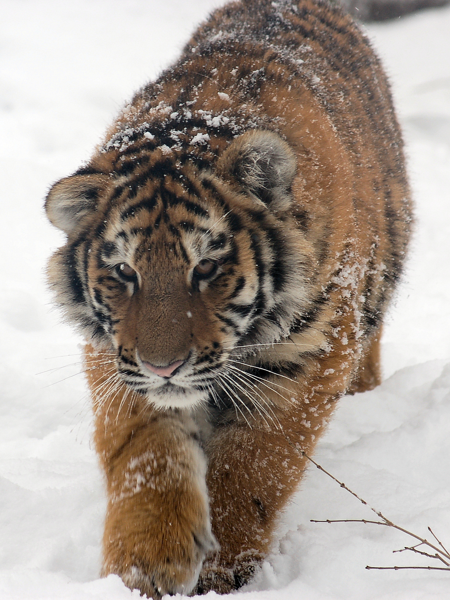 Siberian Tiger Vs Bear By tigers from the amur
