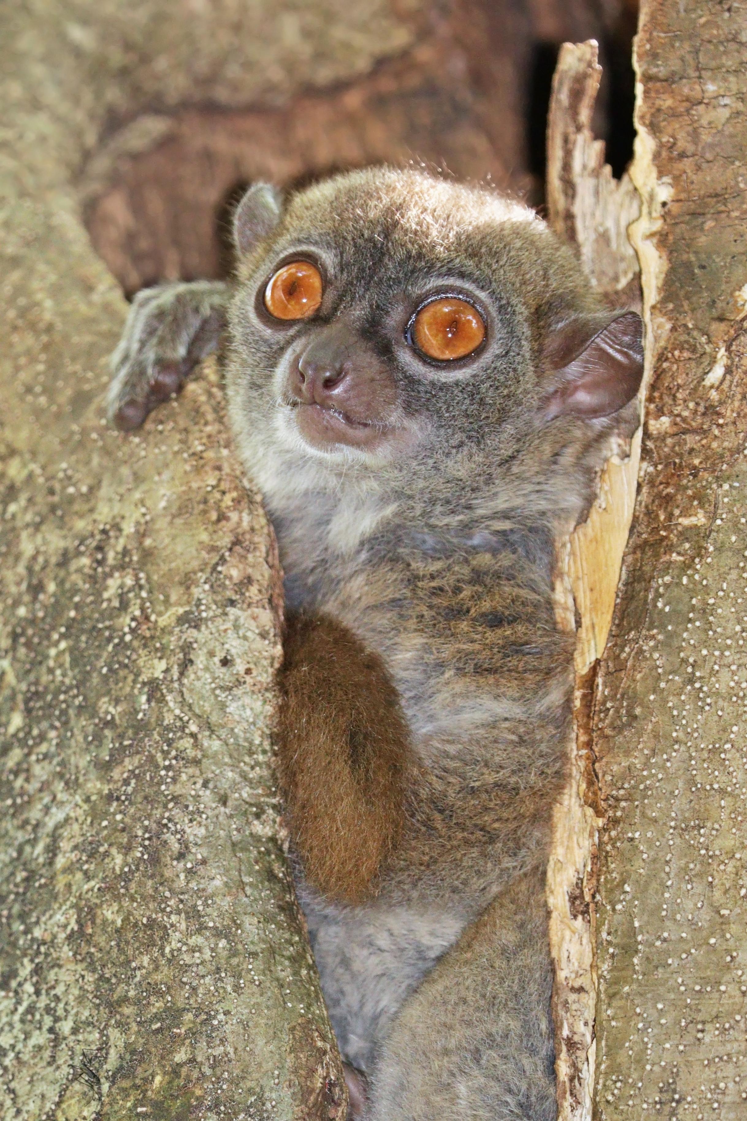 Sportive lemur - Wikiwand