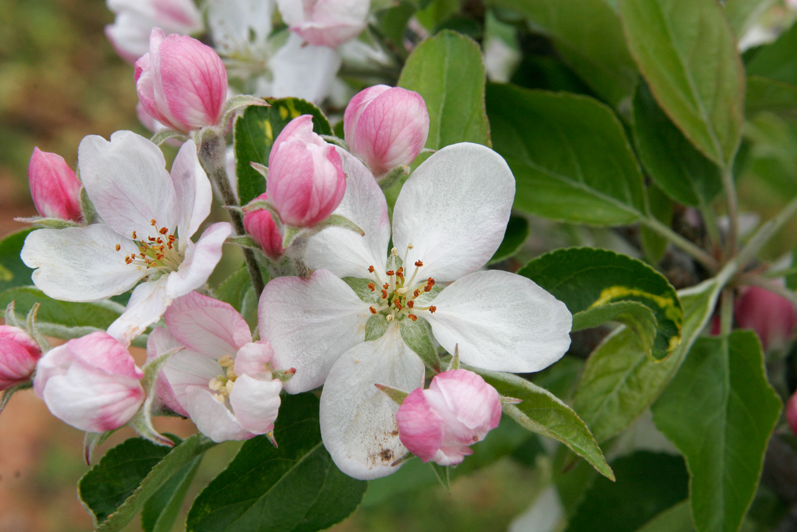File Apple blossoms Wikimedia mons