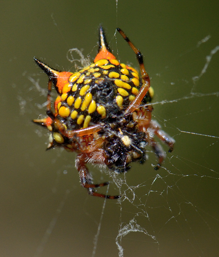 File Austracantha Minax Spider Common Name Christmas
