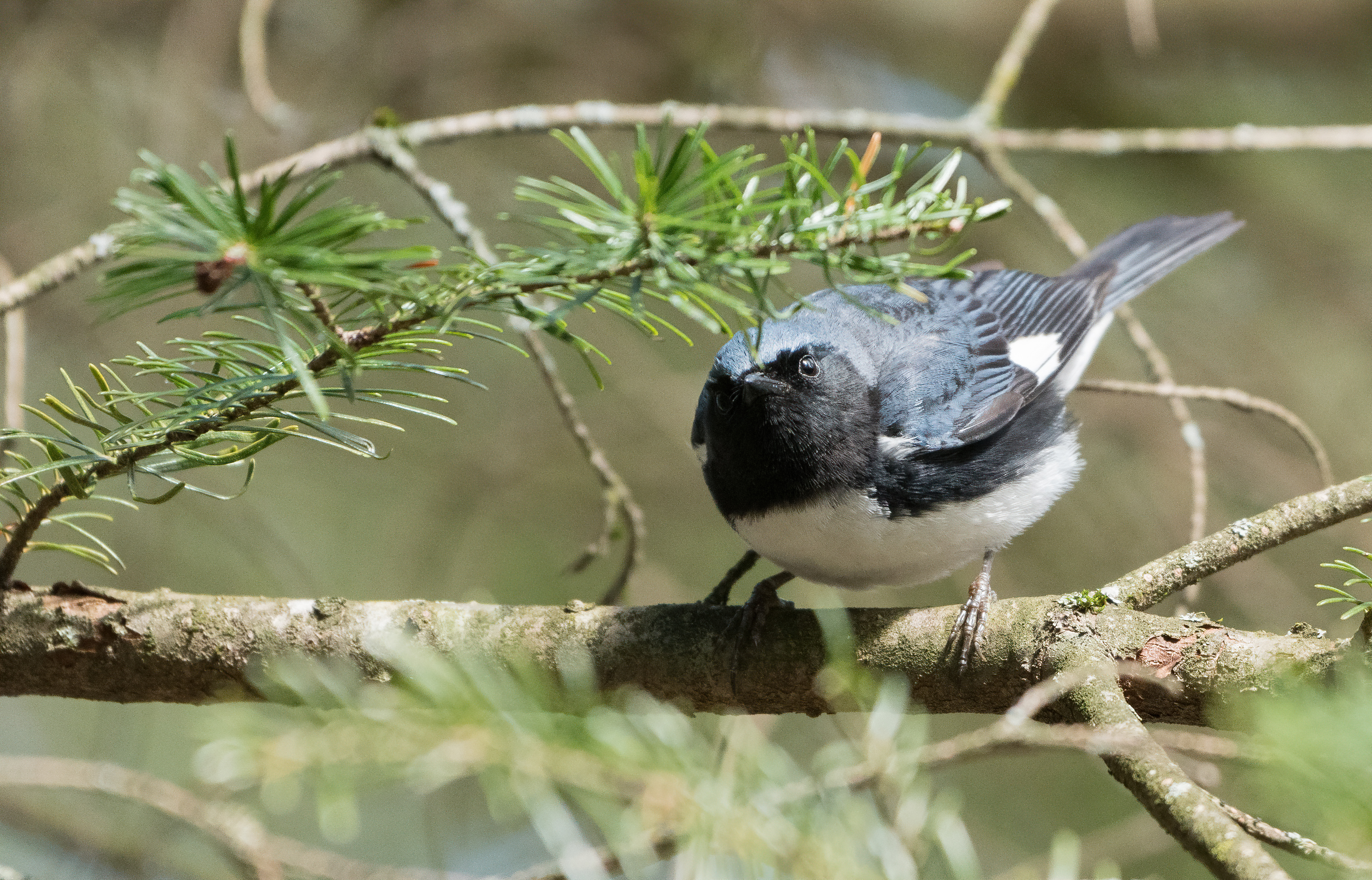 Black Throated Blue Warbler Wikipedia