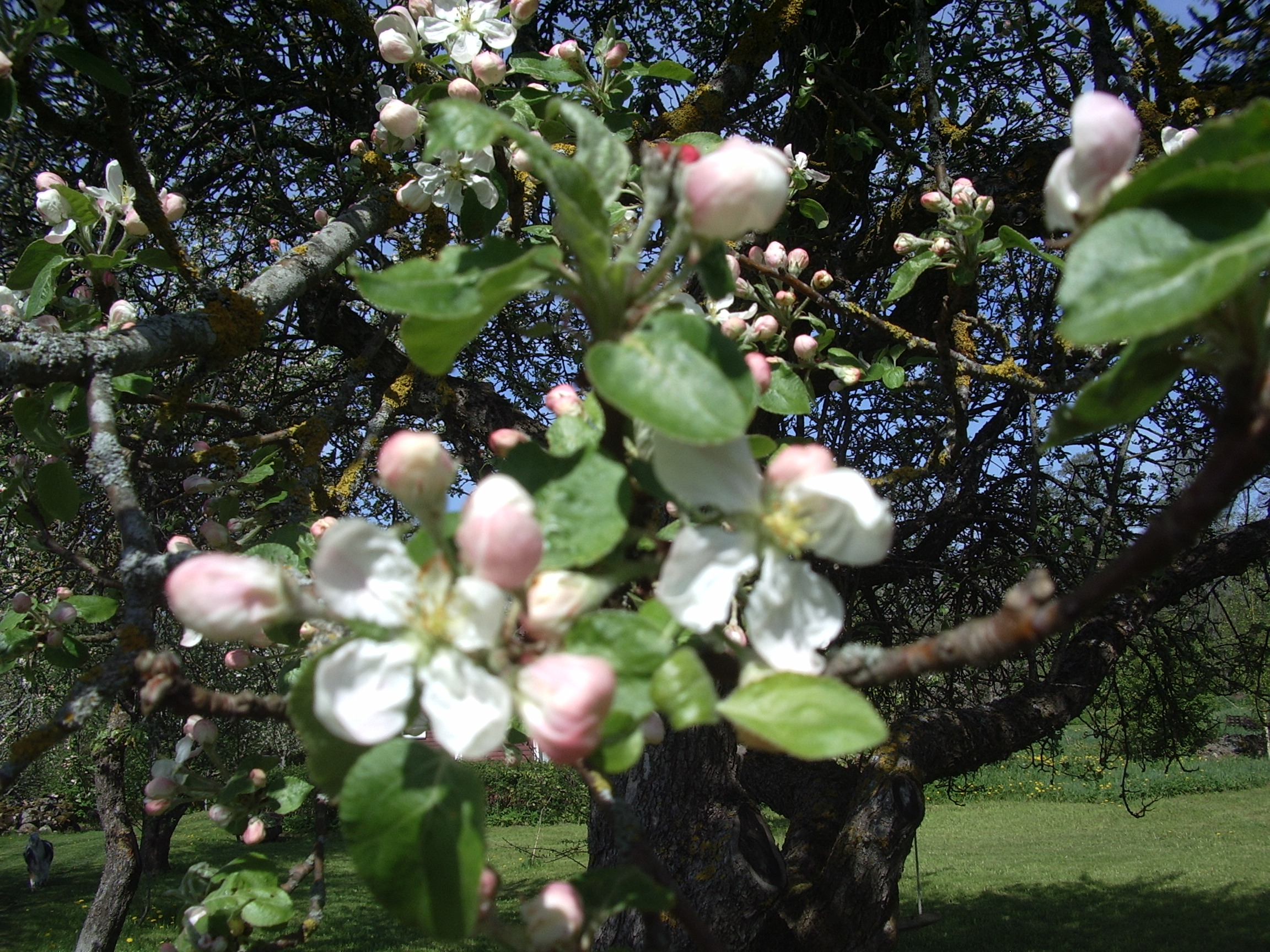 Blooming Malus from Ave Maria Mõistlik