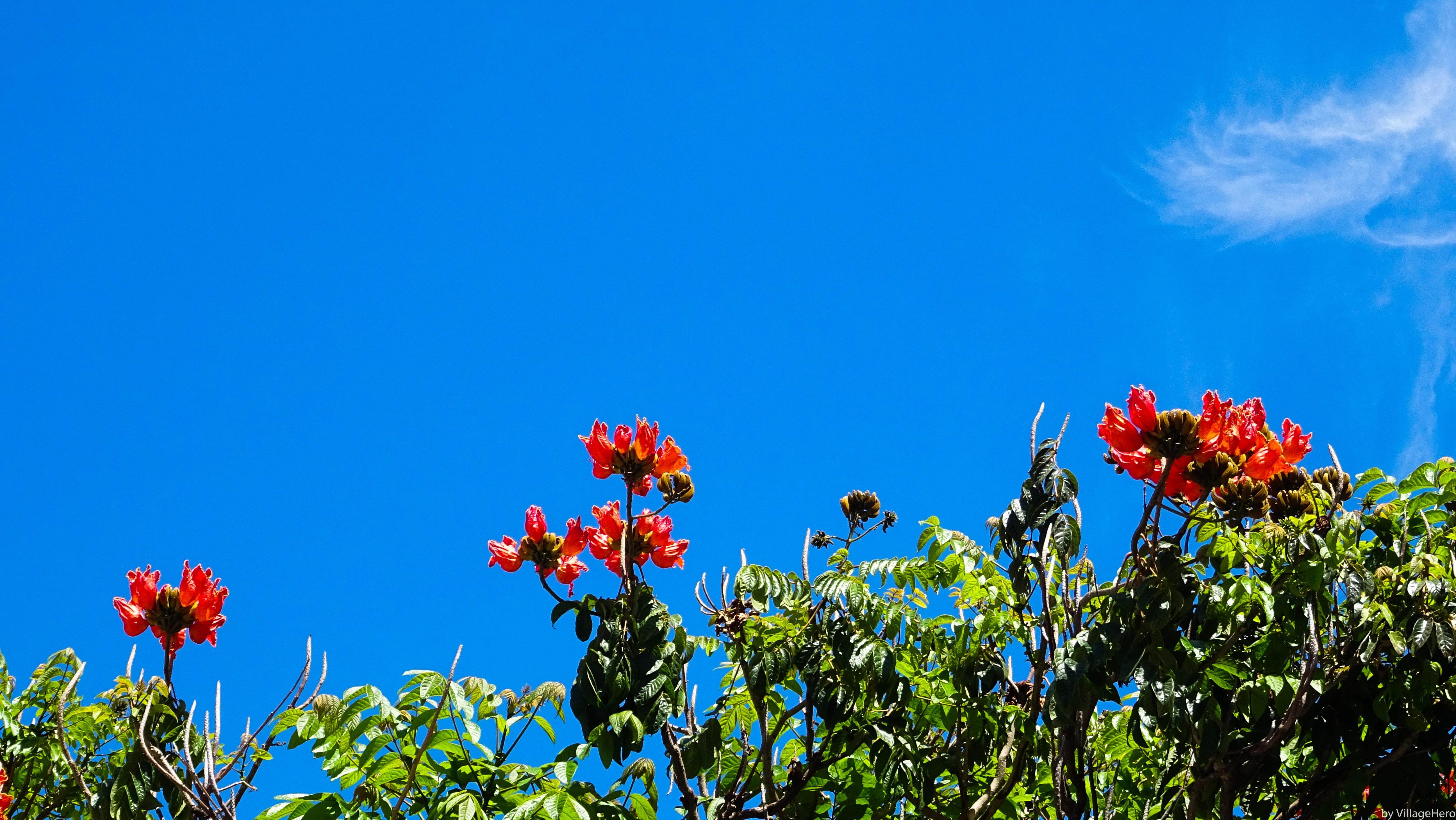 File:Blooming tree sky cloud (38044678346).jpg - Wikimedia Commons