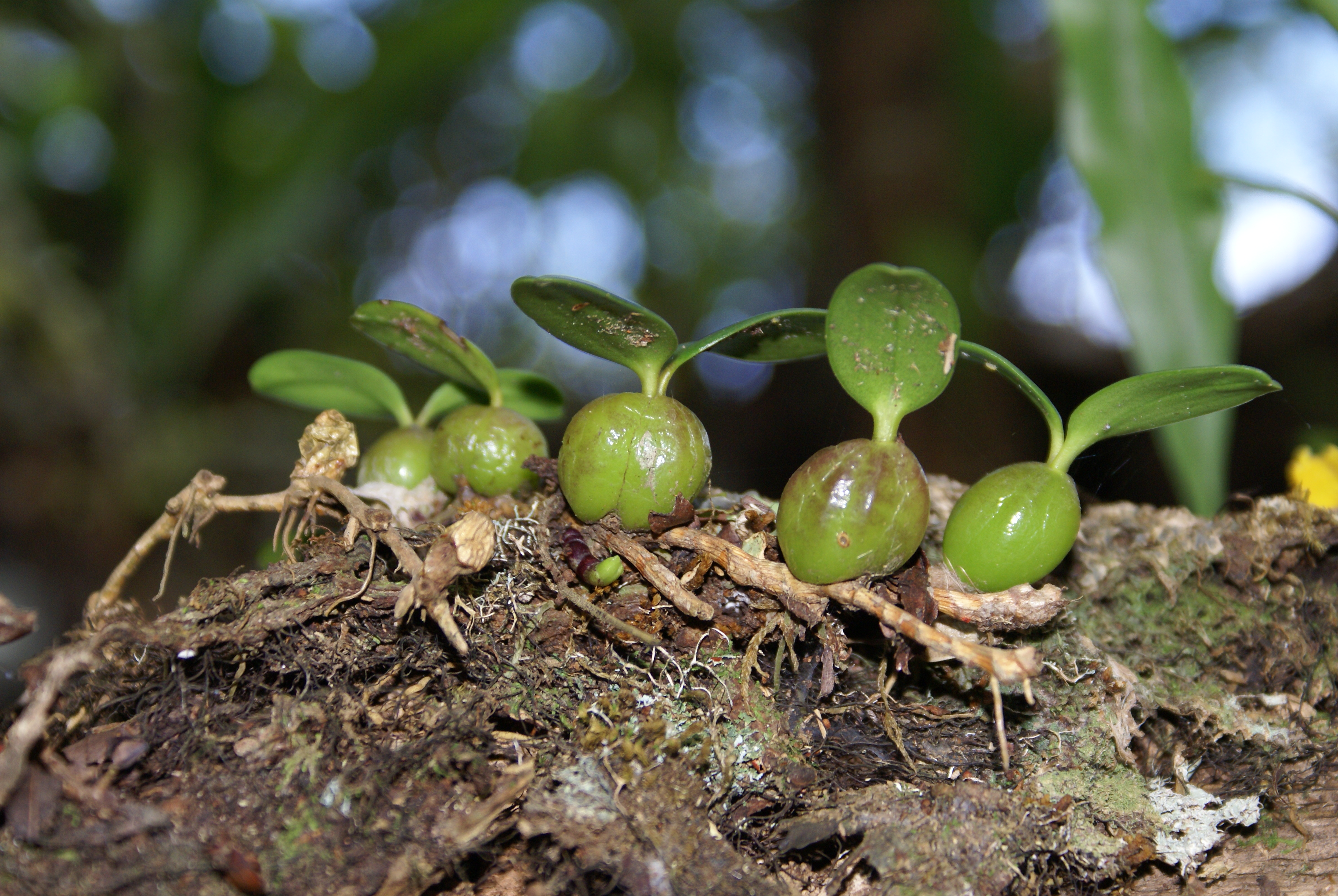 Pseudobulbos de Bulbophyllum nutans.
