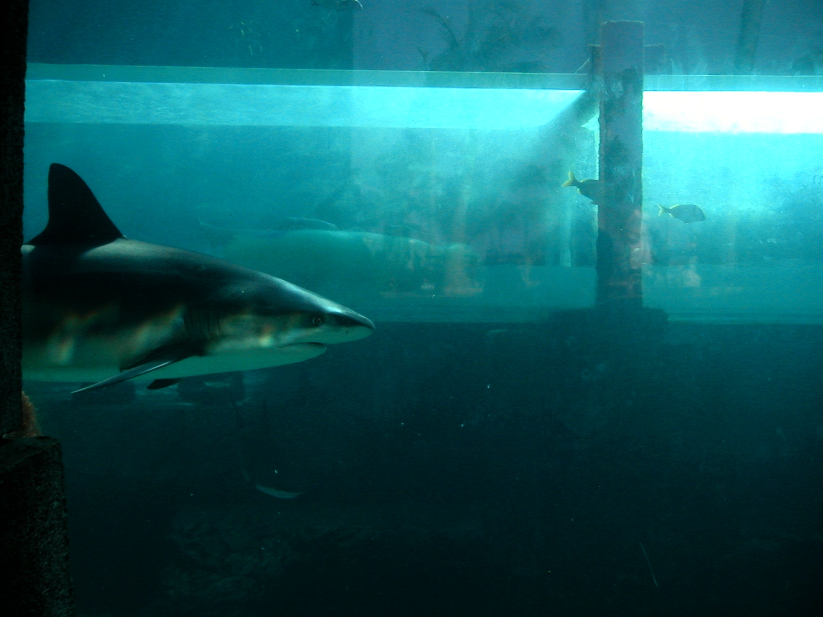 filecarcharhinus perezi at mayan temple slides atlantisjpg underwater water slide atlantis j35 underwater