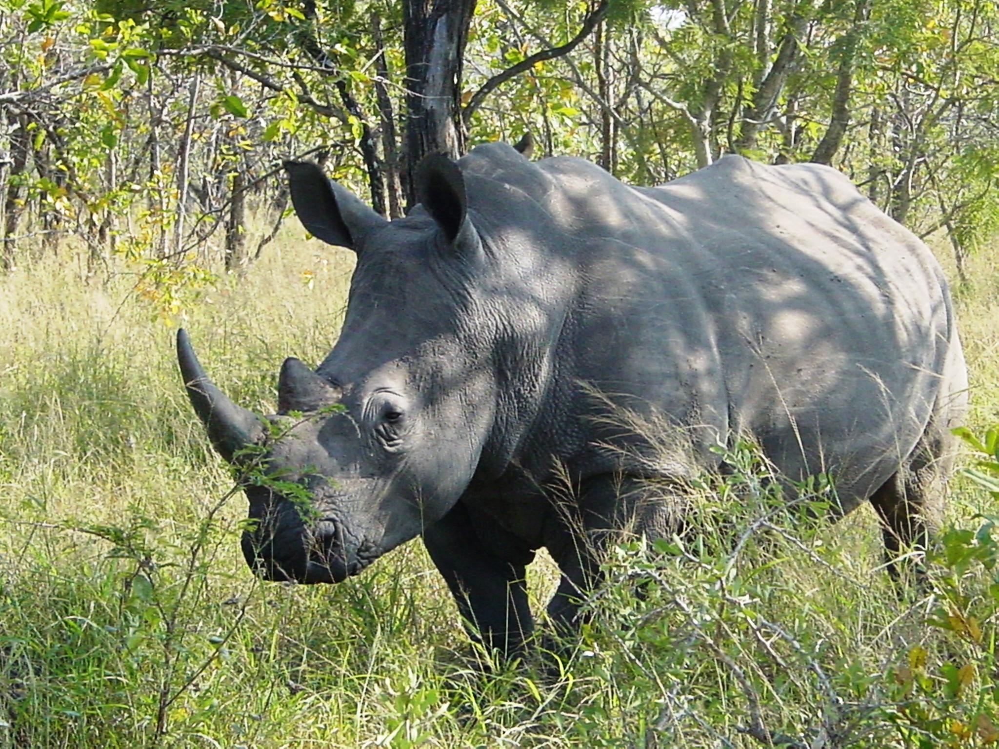 Southern White Rhino (
